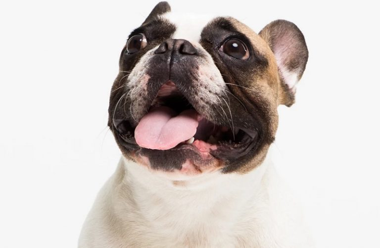 French Bulldog Products- A must-have for Your Bowwow!